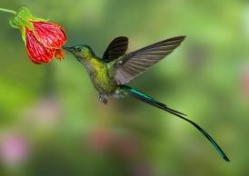 LongTail Hummingbird - Ecuador