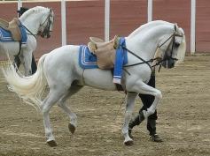Cartujano Horse 2