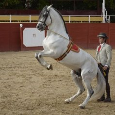 Cartujano Horse