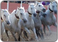 Cartujano6 Horses Running