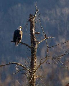 Bald Eagle at Shasta Lake